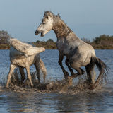 Fighting stallions. Two stallions fighting in the marshes of the camargue in southern france stock photo