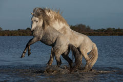 Fighting stallions. Two stallions fighting in the marshes of the camargue in southern france royalty free stock images