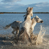 Fighting stallions. Two stallions fighting in the marshes of the camargue in southern france at sunrise stock photography