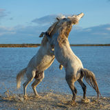 Fighting stallions. Two stallions fighting in the marshes of the camargue in southern france at sunrise stock photo