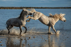 Fighting stallions. Two stallions fighting in the marshes of the camargue in southern france at sunrise royalty free stock images