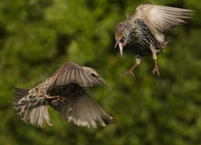Fighting Starlings Stock Images