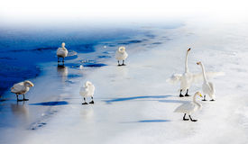 Fighting swans on a frozen lake Stock Image