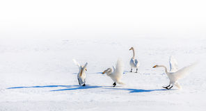 Fighting swans on a snowy field. Four fighting swans in snow on a sunny day stock image