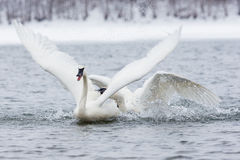 Fighting swans Royalty Free Stock Image