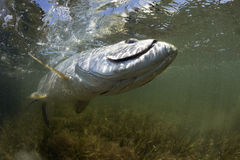 Fighting Tarpon - Fly Fishing Royalty Free Stock Photos