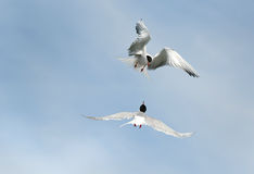 Fighting terns Royalty Free Stock Images