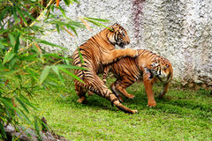 Fighting tigers. Two tigers are fighting in a zoo Stock Photos