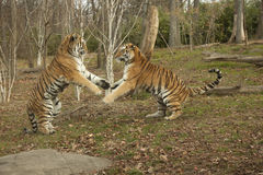 Fighting Tigers. These tiger brothers are play fighting Stock Images