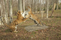 Fighting Tigers. These tiger brothers are play fighting Royalty Free Stock Image