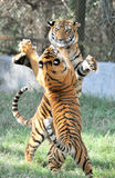 Fighting tigers. Two tigers fighting in outdoors Stock Photos