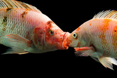 Fighting Tilapia Males Stock Photo