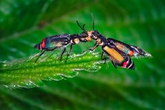 Fighting two bugs in a leaf. Macro photo Royalty Free Stock Image