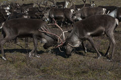 Fighting two deer horns male. Royalty Free Stock Image
