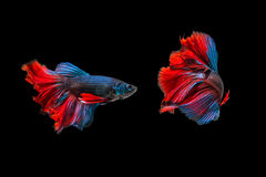 Fighting of two fish isolated on black background. Siamese fighting fish, Betta fish Stock Photo