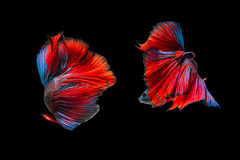 Fighting of two fish isolated on black background. Siamese fighting fish, Betta fish Royalty Free Stock Photo