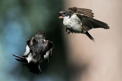 Fighting of two male Pied Flycatchers in flight Stock Photos