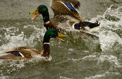 Fighting. Two mallard drakes fighting. Oglio river. Italy Royalty Free Stock Images