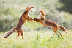 Fighting. Two fighting red foxes in the dunes royalty free stock photo