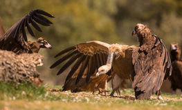 Fighting vultures stock photos
