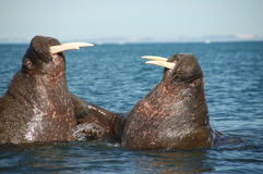 Fighting walrus Stock Photography