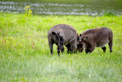 Fighting warthogs. Wharthogs in the green grass with heads against each other, fighting Royalty Free Stock Images