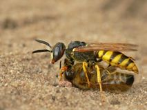 Fighting wasp Royalty Free Stock Photos