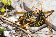 Fighting wasps Royalty Free Stock Photos