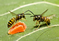 Fighting wasps Stock Photos