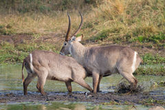 Fighting waterbuck royalty free stock image