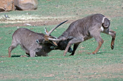 Fighting Waterbuck. Royalty Free Stock Images