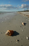 Fighting whelk on beach Royalty Free Stock Image