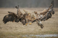 Fighting white-tailed eagles royalty free stock image