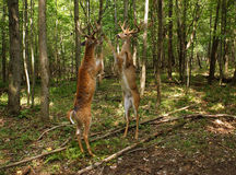 Fighting Whitetail Deer Bucks Royalty Free Stock Images