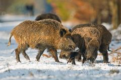 Fighting wild boar Stock Photo