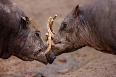 Fighting Wild Boars. Wild boars battling for supremacy Royalty Free Stock Photography