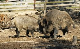 Fighting wild boars. Sus scrofa, dominant male and younger one Stock Photo