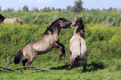 Fighting wild horses Stock Images