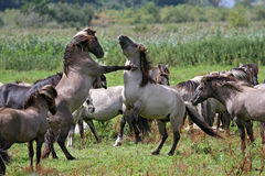 Fighting wild stallions Royalty Free Stock Photos