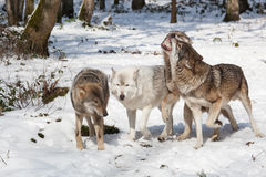 Fighting wolf pack in winter forest Stock Image