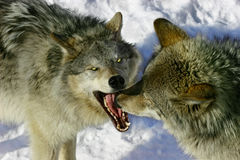 Fighting Wolves Royalty Free Stock Photos