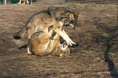 Fighting wolves Stock Photos