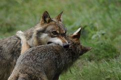 Fighting Wolves ( Canis lupus ) Royalty Free Stock Photo