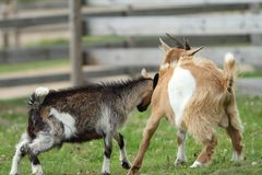 Fighting young goats Royalty Free Stock Image