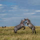 Fighting Zebra. These two Burchell Zebra were fighting for the best part of half an hour. I love the two Wildebeest in the background just watching what's going stock photos