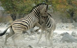 Fighting zebras. Zebras fighting at a waterhole Royalty Free Stock Images