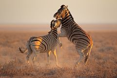 Fighting Zebras Stock Photo