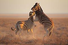Fighting Zebras Stock Photo