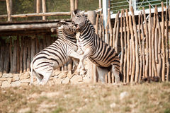 Fighting zebras Royalty Free Stock Photo
