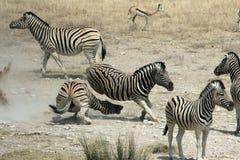 Fighting Zebras Stock Image